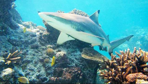 Stock photo of reef shark