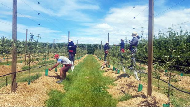 RSE workers from Samoa working in Bostock orchard