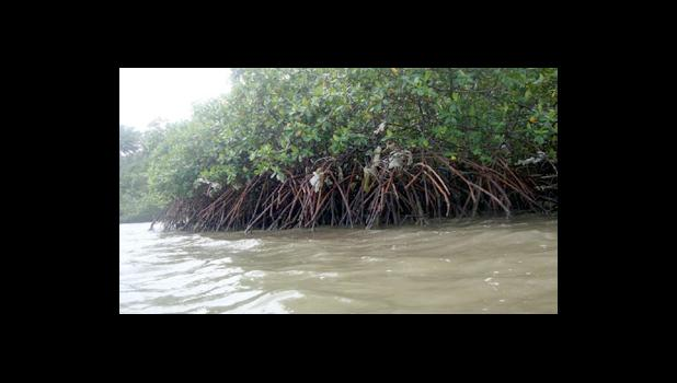 Mangroves in the Nuuuli pala