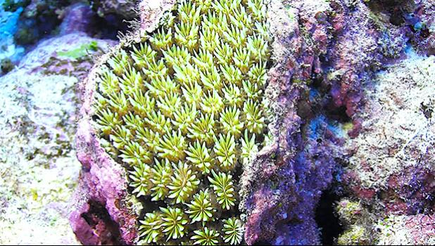 Stony coral, Galaxea fascicularis,
