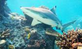 Stock photo of reef shark