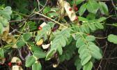 Lopa tree