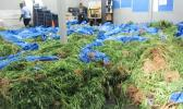 The marijuana raided from Faleatiu