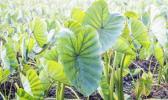 Taro growing in a field