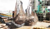 Tuna in a net on deck of purse seiner