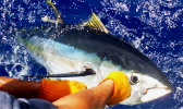 A fisherman releases a tagged yellowfin tuna